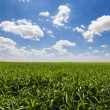 Green Cornfield and Blue Sky — Foto Stock