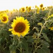 Stock Photo: Sunflowers.