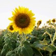 Sunflower plant. — Stock Photo