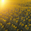Royalty-Free Stock Photo: Sunflower field.