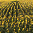 Agricultural sunflowers. — 图库照片 #9302402