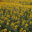 Sunflower field. — Stock fotografie