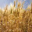 Royalty-Free Stock Photo: Field of wheat.