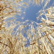 Stock Photo: Wheat in blue sky.