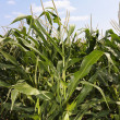 Corn crop field. - Stock Photo