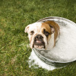 Bulldog bath. — Stock Photo
