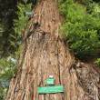 Redwood sequoia with sign — ストック写真