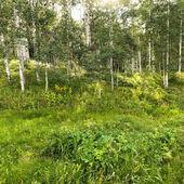 Woods with Aspen tress. — Stock Photo