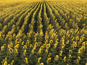 Agricultural sunflowers. — Stock Photo