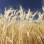 Wheat and blue sky. — Stock Photo