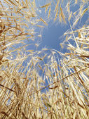 Wheat in blue sky. — Stock Photo