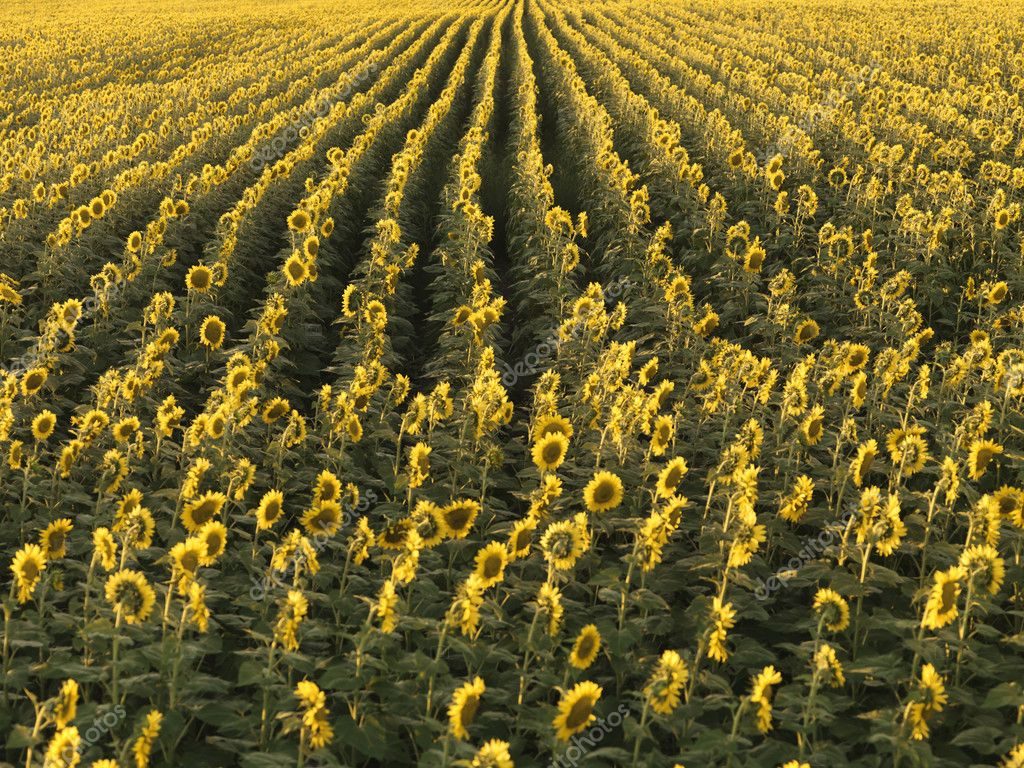 Agricultural field of sunflowers planted in rows. — Stock Photo #9302402