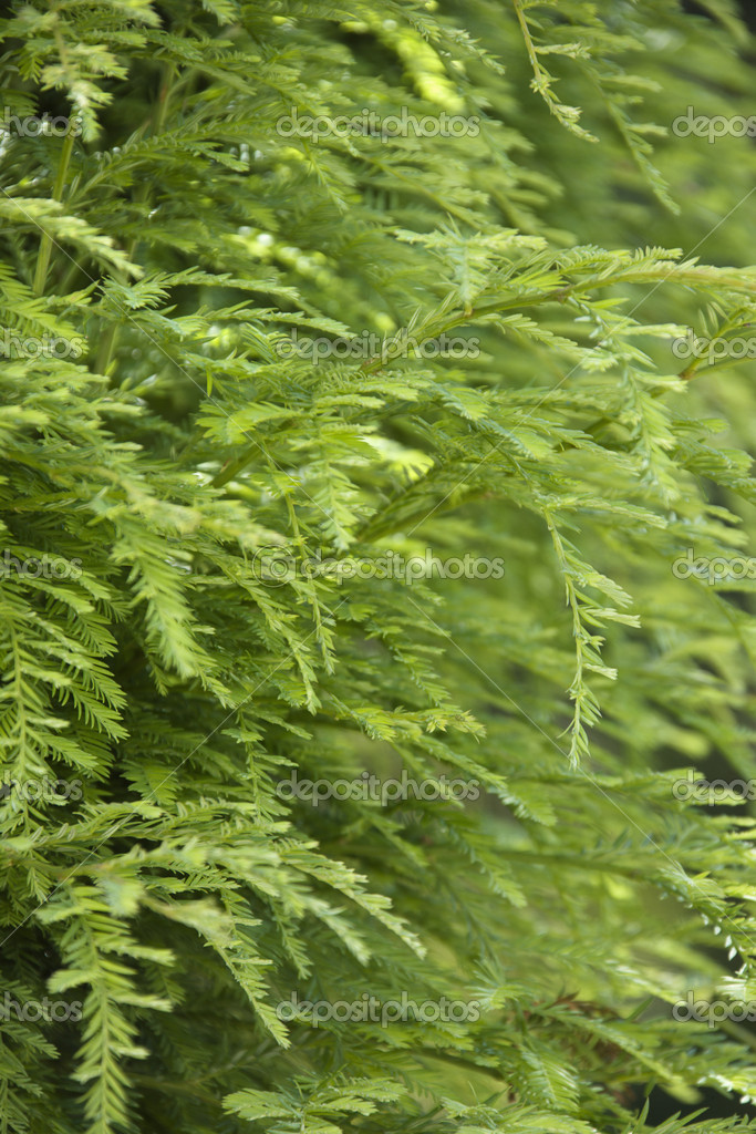 Green growth on the side of a California Redwood Sequoia.  Stock Photo #9307285