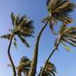 Palm trees blowing in wind. — Stock Photo