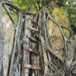 Ladder on Banyan tree. - Stock Photo