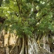 Banyan tree in Maui. - Stock Photo
