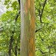 Stock Photo: Rainbow Eucalyptus tree in Maui.