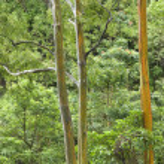 Rainbow Eucalyptus trees in Maui. — Stock Photo