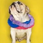 English Bulldog wearing lei. — Stock Photo