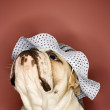 Stock Photo: English Bulldog wearing bonnet.