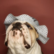 English Bulldog wearing bonnet. — Stock Photo