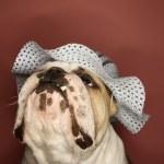 English Bulldog wearing bonnet. — Stock Photo