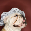 Stock Photo: English Bulldog wearing hat.