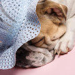Sleeping English Bulldog. - Stock Photo