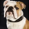 Royalty-Free Stock Photo: Bulldog wearing spike collar.