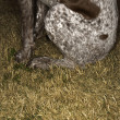 Royalty-Free Stock Photo: German Shorthaired Pointer dog.