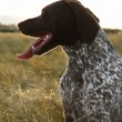 Sporting Pointer dog in field. - Stock Photo