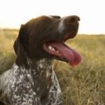 Sporting dog in field. — Stock Photo