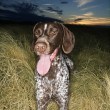 Pointer dog in field. — Stock Photo