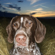 Pointer dog lying in field. — Stock Photo