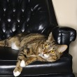 Tabby cat on leather chair. — Stock Photo