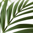 Palm frond. — Stock Photo