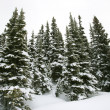 Snow covered pine trees. — Stockfoto #9368012
