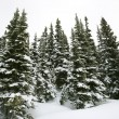 Stock Photo: Snow covered pine trees.