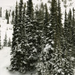 Snow covered pine trees. — Stock Photo #9368022