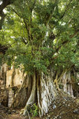 Banyan tree in Maui. — Stock Photo
