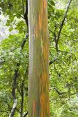Rainbow Eucalyptus tree in Maui. — Stock Photo