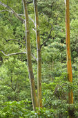 Rainbow Eucalyptus trees in Maui. — Stock Photo