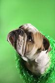 English Bulldog on green. — Stock Photo
