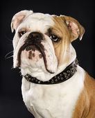 Bulldog wearing spike collar. — Stok fotoğraf