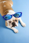 Bulldog wearing sunglasses. — Stock Photo
