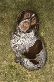 German Shorthaired Pointer dog. — Stock Photo