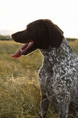 Sporting Pointer dog in field. — Stock Photo