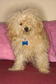 Psa rasy mieszanej. — Zdjęcie stockowe