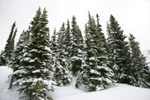 Snow covered pine trees. — Stock Photo