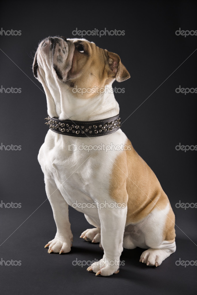 Sitting English Bulldog wearing spiked collar and looking upward.  Stock Photo #9365266